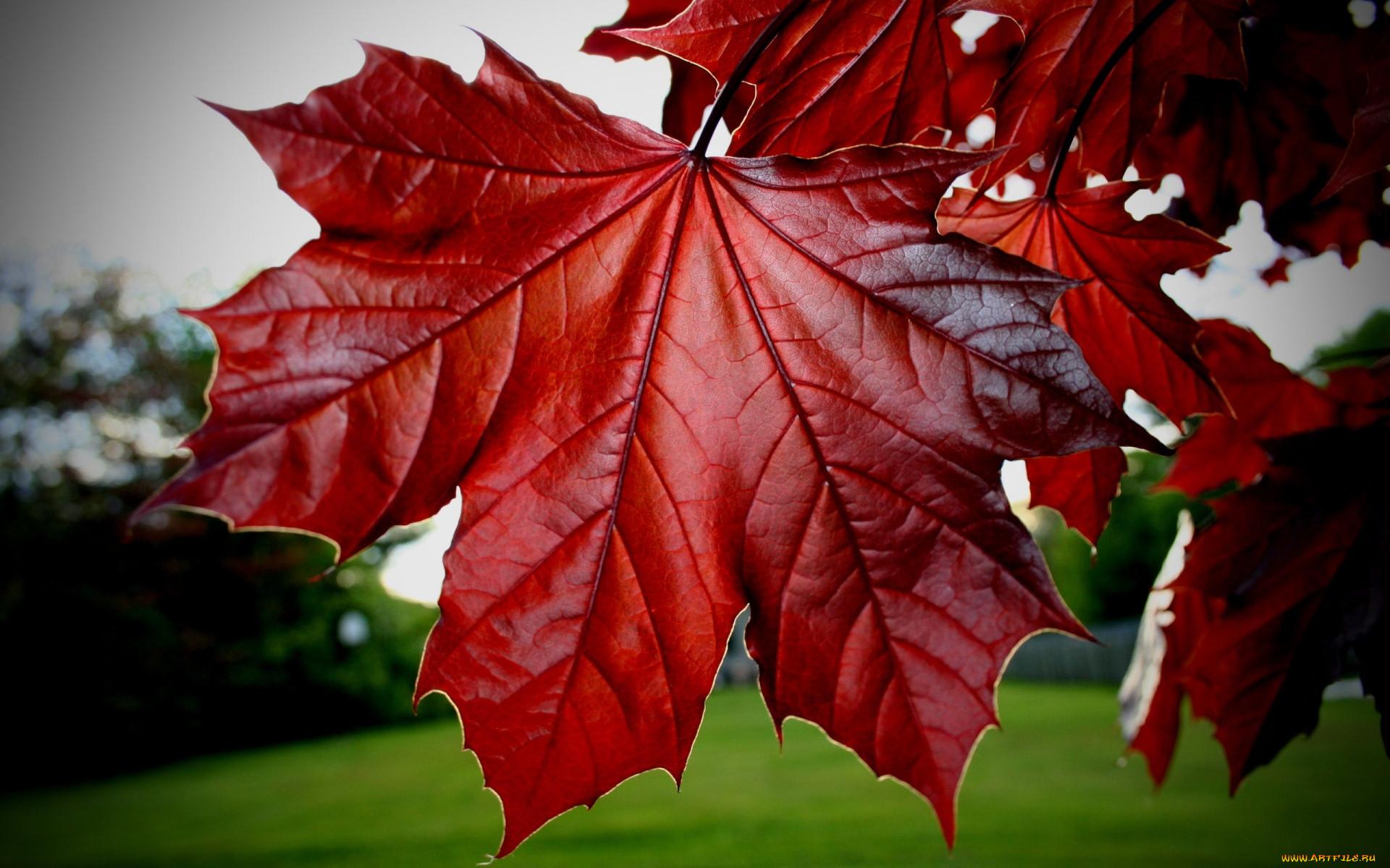 следующего красивые картинки кленовые листья новый год